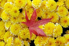 Yellow mums with a red maple leaf Stock Images