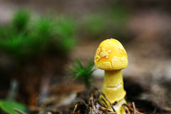 Yellow mushroom Royalty Free Stock Photo