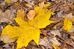 Yellow mushroom. Decorative maple leafs fall backgrond Stock Images