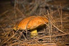 Yellow mushroom Stock Images