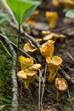 Yellow mushroom chanterelles on ground in forest Royalty Free Stock Image