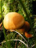 Yellow mushroom in forest Royalty Free Stock Image