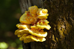 Yellow mushroom growing on a tree Royalty Free Stock Image