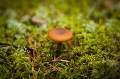 Yellow mushroom Stock Photography