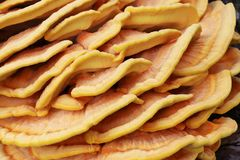 Yellow mushroom parasite wallpaper Stock Images