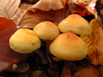 Yellow mushroom Royalty Free Stock Images