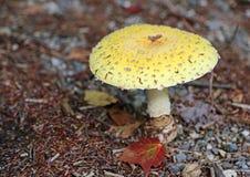 Yellow mushroom Royalty Free Stock Image