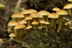 Yellow mushrooms Royalty Free Stock Photo