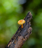 Yellow mushrooms grow in forest Royalty Free Stock Photography