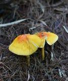 Yellow mushrooms Stock Image