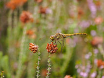 Yellow mustached darter Royalty Free Stock Photos
