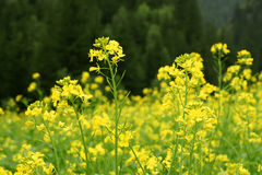 Yellow mustard. The flowers and anthotaxy of yellow mustard royalty free stock photo