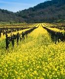 Yellow Mustard bloom in Napa, California. Yellow mustard bloom in the Californian wine country stock photo