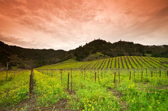 Yellow Mustard bloom in Napa, California royalty free stock images