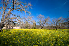 Yellow Mustard bloom in Sonoma, California. Royalty Free Stock Image