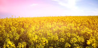 Yellow mustard field Stock Photography