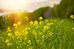 Yellow mustard field. Stock photo. royalty free stock photo