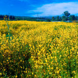 Yellow Mustard Field Royalty Free Stock Images