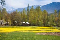 Yellow mustard flower field in srinagar, jammu, kashmir, india Stock Photos