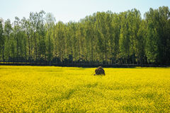 Yellow mustard flower field in srinagar, jammu, kashmir, india Royalty Free Stock Image