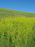 Yellow mustard flowers against a blue sky Stock Photography