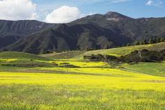 Yellow mustard and mountains, upper Ojai California, USA Royalty Free Stock Photo
