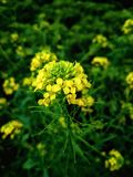 Yellow, Mustard Plant, Flower, Flora stock photos