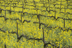 Yellow mustard plants in spring vineyard Royalty Free Stock Photography