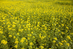 Yellow mustard seed in field Stock Photography