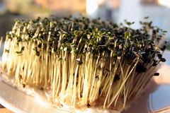 Yellow mustard sprouts growing on cotton wool Stock Photos