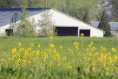 Yellow Mustard Weed Royalty Free Stock Photos