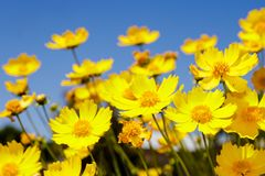 Yellow daisy meadow against a blue sky Royalty Free Stock Photos