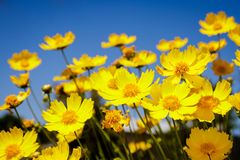 Yellow daisy meadow against a blue sky Stock Images