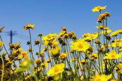 Yellow daisy meadow against a blue sky Stock Image