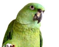 Yellow nape amazon parrot eating walnut. Isolated on white background Stock Photography