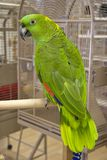 Yellow Naped Amazon. Yellow-Naped Amazon Parrot on a Playgym in a Bird Store royalty free stock photography