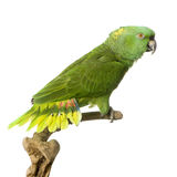 Yellow-naped amazon. Yellow-naped Parrot in front of a white background Stock Photos