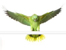 Yellow-naped amazon. Yellow-naped Parrot in front of a white background Royalty Free Stock Photo