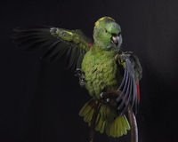 Yellow-naped amazon, Amazona auropalliata Royalty Free Stock Photo