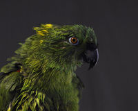 Yellow-naped amazon, Amazona auropalliata Stock Image