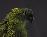 Yellow-naped amazon, Amazona auropalliata stock image