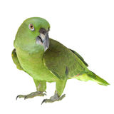 Yellow Naped Amazon Parrot Stock Photo