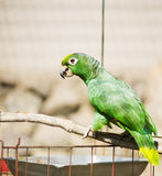 Yellow-naped Amazon Parrot Royalty Free Stock Photos