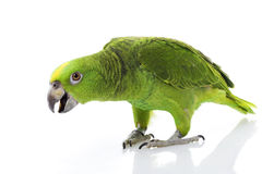 Yellow-naped Amazon Parrot Stock Photo