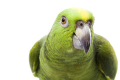 Yellow-naped Amazon Parrot Stock Images