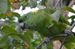 Yellow-naped Amazon Parrot perched in tree (1). Photo of a yellow-naped amazon parrot perched in a tree Royalty Free Stock Photography