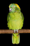Yellow-Naped Amazon Parrot Royalty Free Stock Photo