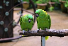 Yellow Naped Amazon Parrot sitting on wood Stock Photos