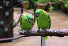Yellow Naped Amazon Parrot sitting on wood Stock Photos