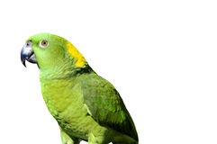 Yellow naped parrot: Amazona auropalliata Stock Photo